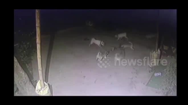 Video: Đàn chó tử chiến hổ mang chúa hung hãn và kết cục đau lòng - 1