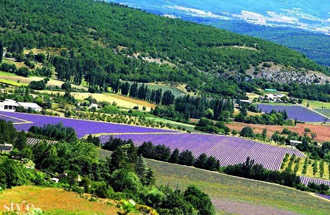 Những cánh đồng hoa oải hương tím biếc ở Provence - 1