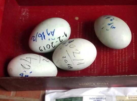 Đàn thiên nga 12 con ở hồ Thiền Quang bất ngờ đẻ gần 20 quả trứng - 1