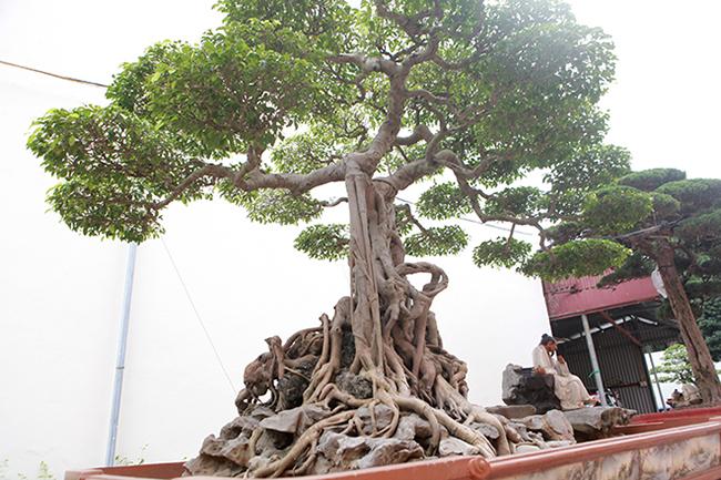 """Nói về cái tên, anh Toàn cho biết, trước kia ở giữa cây có một pho tượng ông bụt nên mọi người haygọi cây sanh này với cái tên """"Ông bụt"""". Từ đó đến nay cây vẫn mang tên đó."""