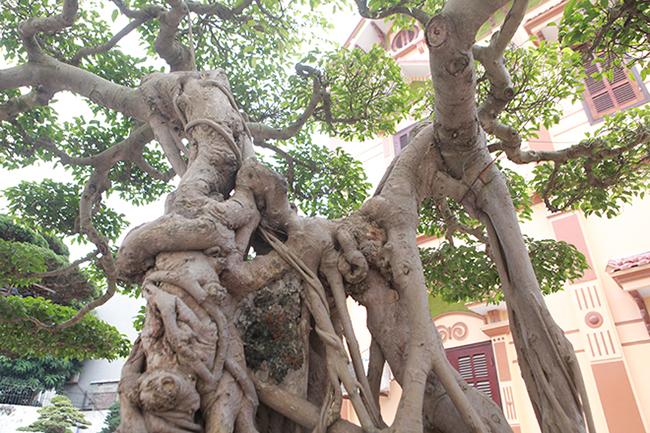 Sở hữu được cây quý, anh Toàn quyết định mua một con trâu lớn mổ ăn mừng.