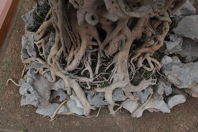 """""""Đây là cây sanh duy nhất ở Việt Nam có nước da (vỏ)màu vàng đồng"""", anh Toàn khẳng định."""
