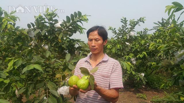 Ninh Bình: Dùng phế phẩm ủ nấm bón cho ổi, lãi 20 triệu mỗi tháng - 1