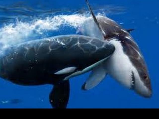 """Đòn tàn độc của cá voi sát thủ khiến """"hung thần đại dương"""" bỏ chạy mỗi khi gặp"""