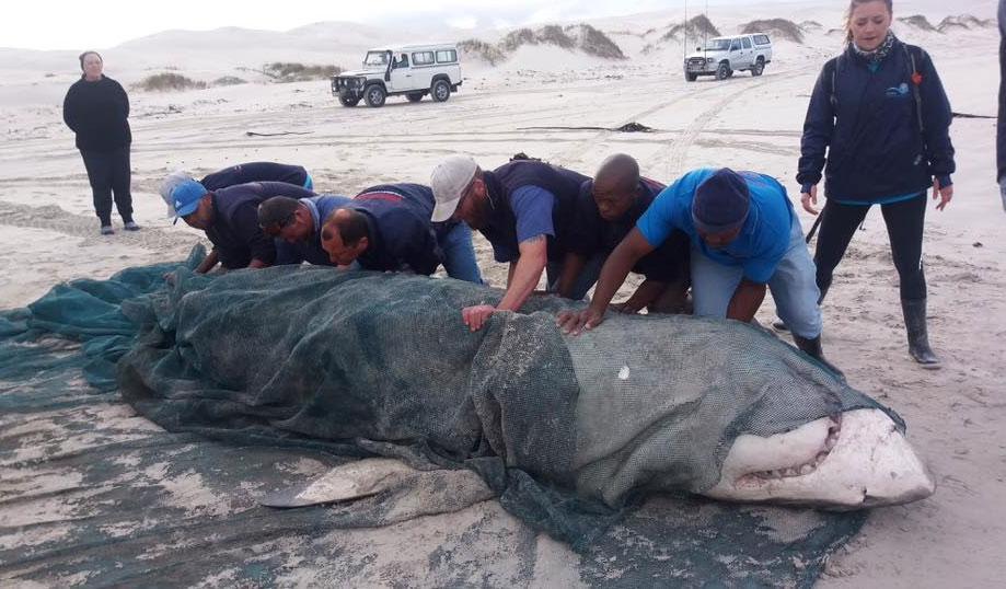 """Đòn tàn độc của cá voi sát thủ khiến """"hung thần đại dương"""" bỏ chạy mỗi khi gặp - 1"""