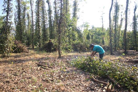"""Rớt giá trầm trọng, nhà nông chặt bỏ cây """"tiền tỉ"""" hồ tiêu, cà phê - 1"""