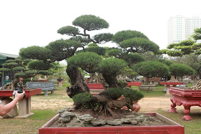 Cây phi lao có bóng dáng hình chữ Nhẫn không lớn nhưng được giới chơi cây đánh giá là mộttrong những cây phi lao đẹp nhất Việt Nam.