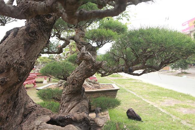 Nói về giá trị của cây, anh Toàn cho biết, rất khó nói giá bởi cây mang tính nghệ thuật cao, giá thì vô cùng. Nhưng nếu bán cũng phải ít nhất 2 tỷ đồng.