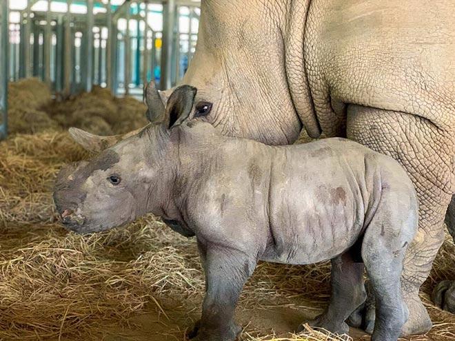 Vinpearl Safari Phú Quốc - 17 ngày đón 2 cá thể tê giác quý chào đời - 1