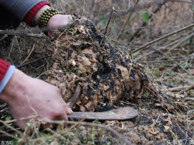 Lùng sục khắp nơi bắt loài tí hon màu đen sì, bán gần 6 triệu đồng/kg
