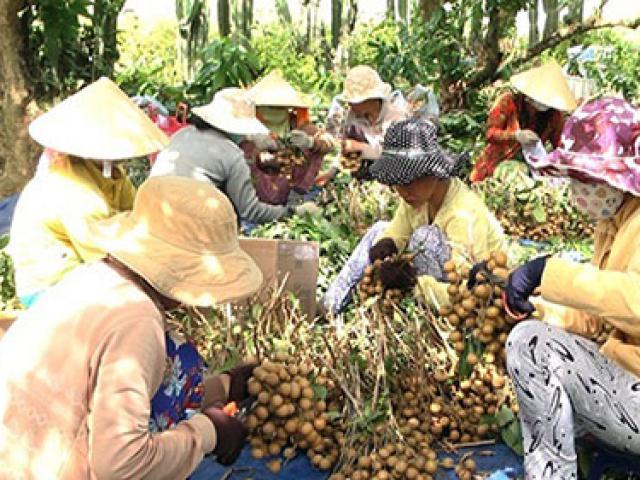 """Nhãn xuồng cơm vàng Bình Thuận """"lên đời"""": Dày cùi, ngọt lịm và cực ngon"""