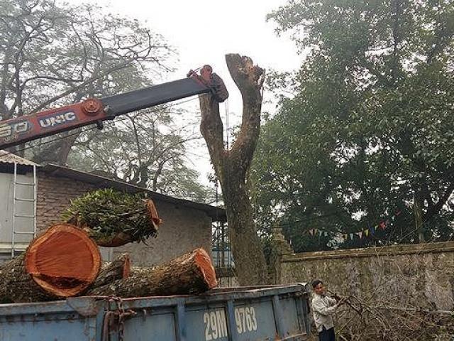 Vì sao lô gỗ sưa 'trăm tỷ' ở Hà Nội chưa bán đấu giá?