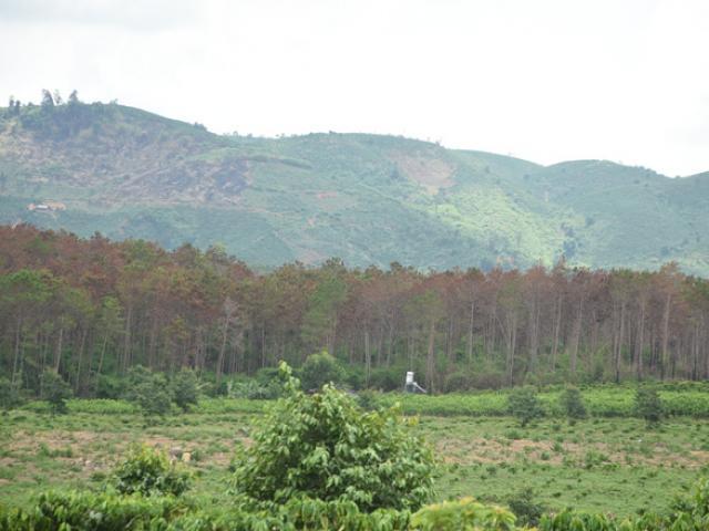 """Cận cảnh 10 hecta rừng thông """"chết đứng"""" vì bị """"đầu độc"""" ở Lâm Đồng"""
