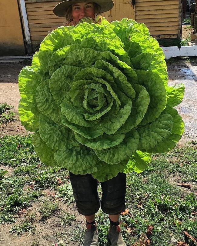 3.Bắp xà lách này trông giống như một bông hoa mà bất kỳ người làm vườn nào cũng đều muốn làm.