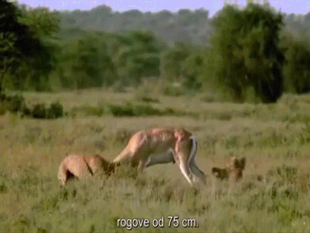 Báo săn hùng hổ vồ linh dương, không ngờ bị con mồi húc cả thủng bụng