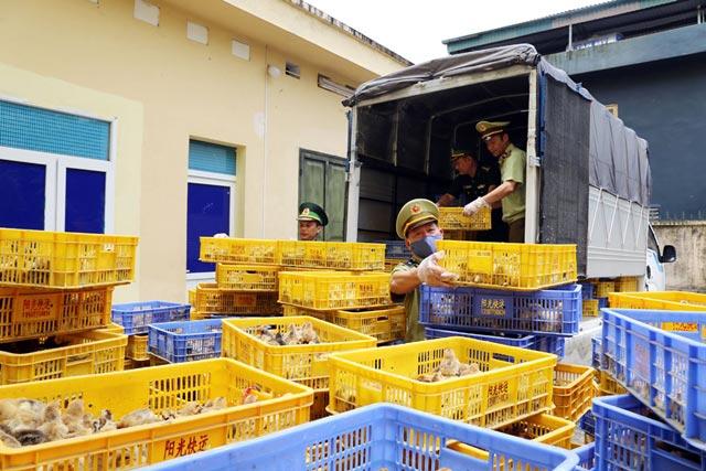 Quảng Ninh: Bắt giữ hơn 22.000 con gà giống nhập lậu lúc nửa đêm - 1