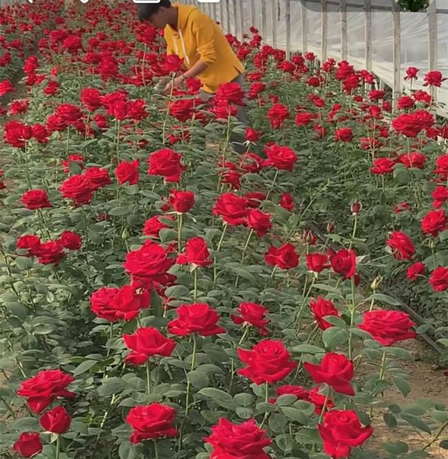 Kết quả hình ảnh cho Không có tiền học đại học, chàng trai trẻ ở nhà trồng hoa hồng mà kiếm tiền tỷ mỗi năm