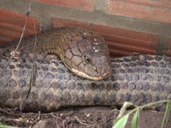 Xử lý sao với cặp rắn hổ khổng lồ bắt ở Núi Cấm? - 1