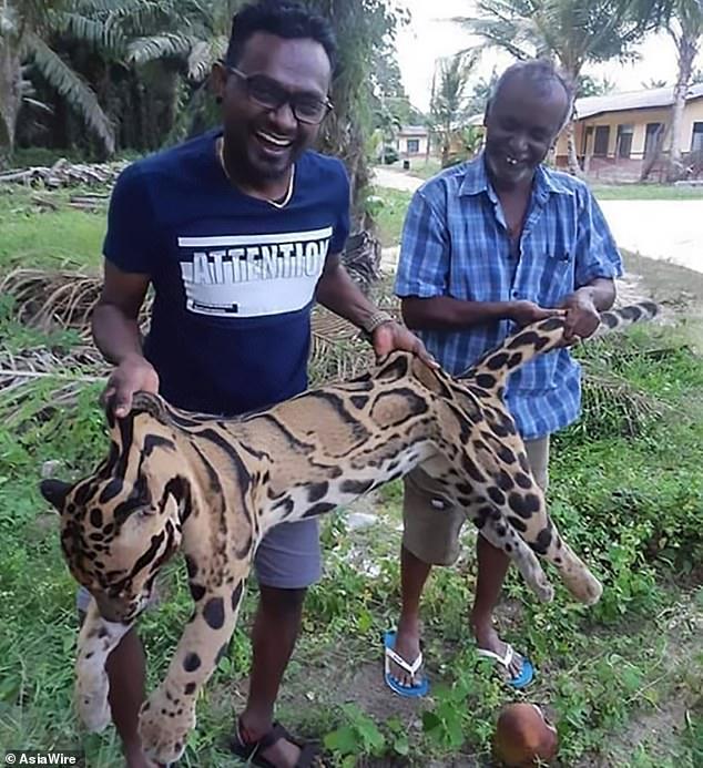 Phẫn nộ cảnh báo gấm cực kỳ quý hiếm bị thợ săn giết hại dã man ở Malaysia - 1