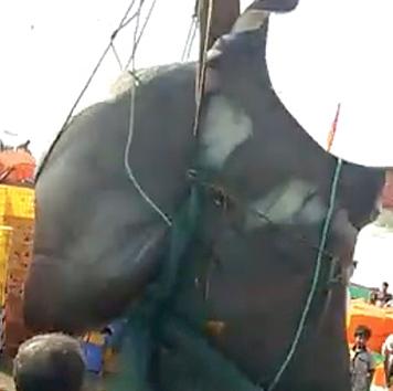 Video: Bắt được cá đuối khổng lồ chưa từng thấy, nặng 1,3 tấn - 1