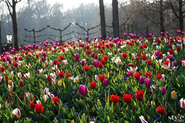"""Vẻ đẹp mê hoặc của """"khu vườn cổ tích"""" Keukenhof tại Hà Lan - 1"""