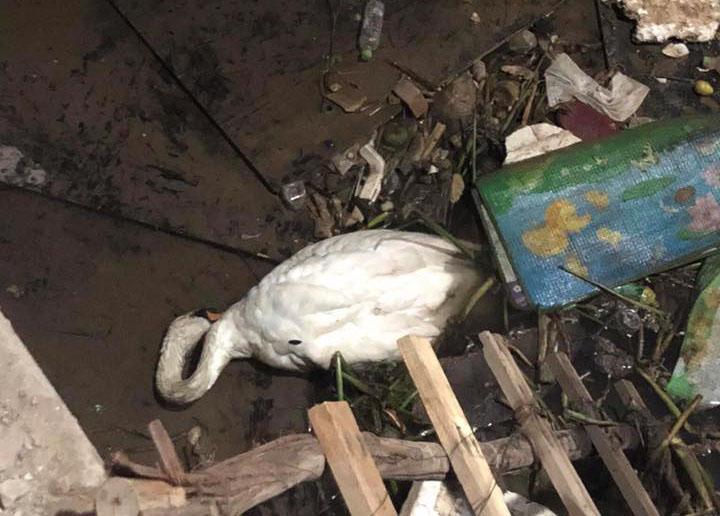 Thiên nga gục trên bãi rác sông Tam Bạc do... đầy bụng? - 1