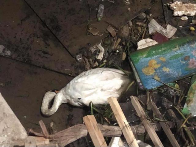 Thiên nga gục trên bãi rác sông Tam Bạc do... đầy bụng?