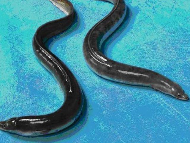 """Kiến trúc sư bỏ việc về nuôi loài cá nhìn như rắn, kiếm tiền tỷ """"ngon lành"""""""