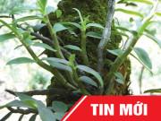 Tin tức sức khỏe - Tây Bắc: Phát hiện cây lan quý mọc trong hốc đá bớt tê bì chân tay, tiểu đêm, ổn định đường huyết