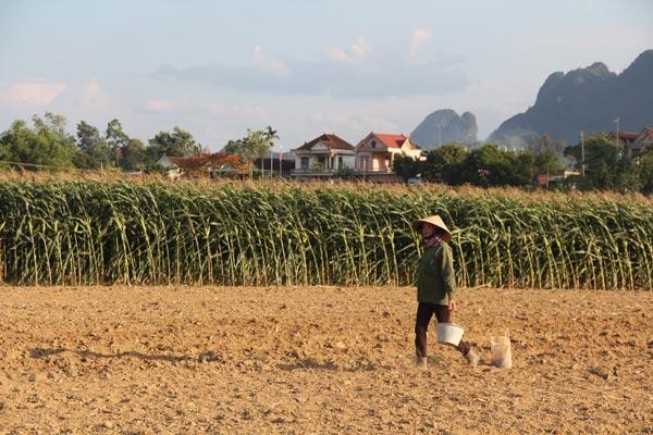 Trồng ngô không lấy bắp mà bán cả cây, dân sông Lam có trăm triệu - 1