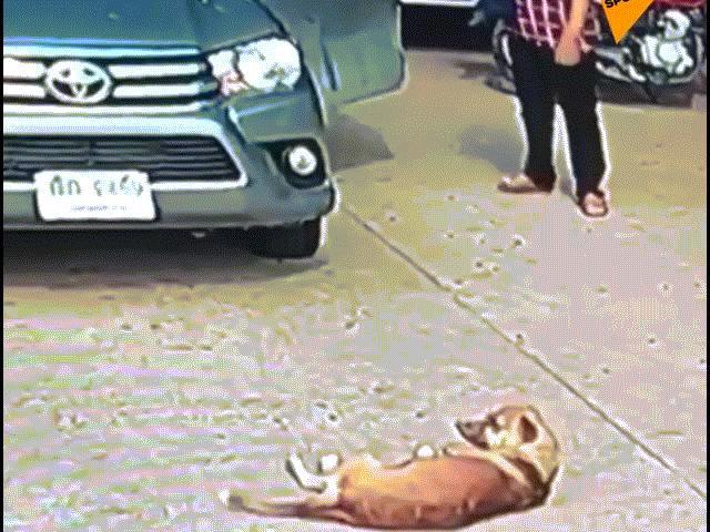 """Chú chó nằm ườn ngủ trưa, """"cướp đường"""" không cho ô tô đi qua"""