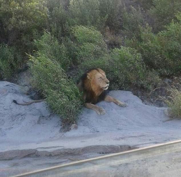 Lộ diện 14 con sư tử sổng chuồng, lang thang ngoài đường ở Nam Phi - 1