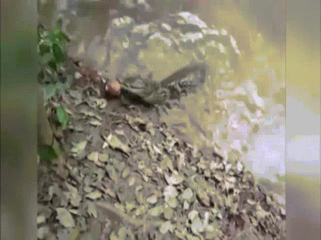Thủy quái biết phóng điện khiến cá sấu tê liệt trên sông Amazon
