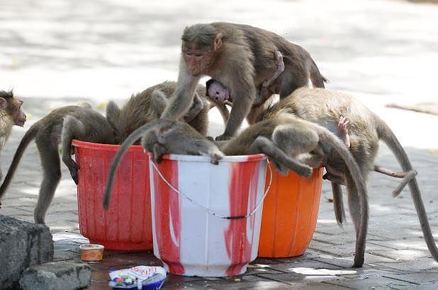 Ấn Độ nóng 50 độ C, khỉ cắn giết nhau tranh giành nước uống - 1