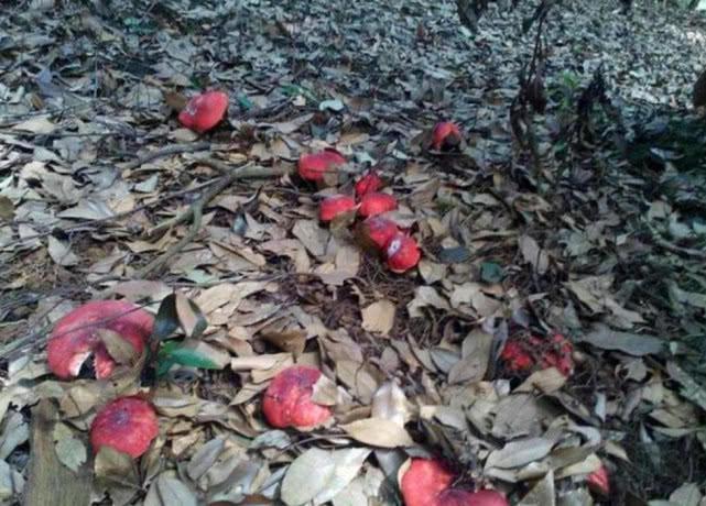 Loại nấm tưởng là độc nhưng không ngờ lại được nhiều người săn lùng - 1