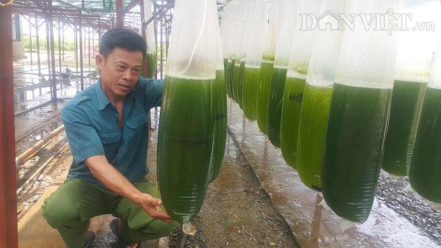 """Chuyện lạ Thái Bình: Nuôi thứ nước xanh lè mà """"rót"""" ra hàng tỷ đồng - 1"""