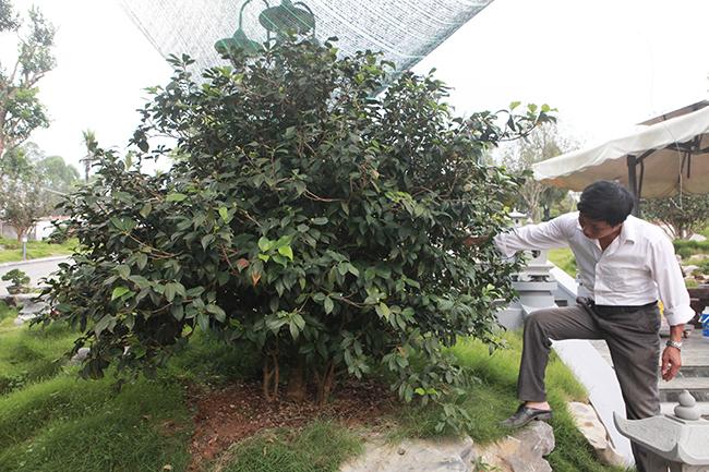 Chủ nhân của những cây trà cổ là anh Bùi Đức Dũng (TP. Việt Trì, Phú Thọ), anh Dũng được biết đến là người yêu thích những cây bản địa, quý hiếm như: Cây trà, mộc hương, si, sanh, mẫu đơn…