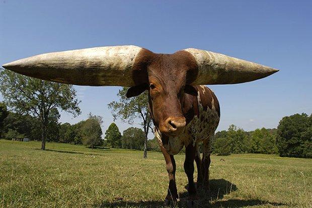 Chú bò lập kỷ lục với cặp sừng dài nhất thế giới - 1