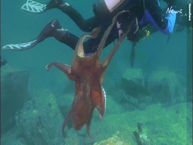 Video: Thợ lặn đang bơi bất ngờ bị bạch tuộc khổng lồ tấn công