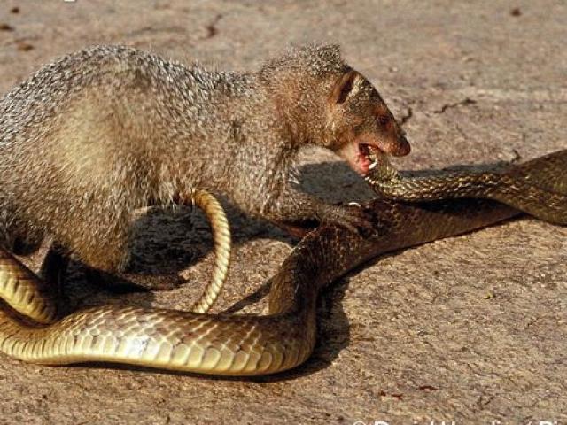 Xem cầy mangut tung đòn sát thủ đoạt mạng rắn hổ mang cực độc