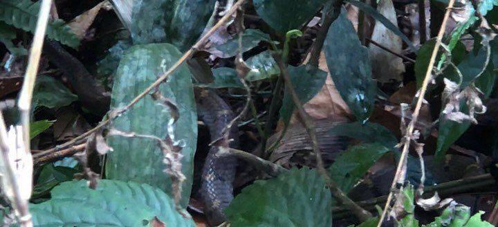 Khiếp vía khu rừng lúc nhúc các loài rắn độc trên đỉnh Pu Ta Leng - 1