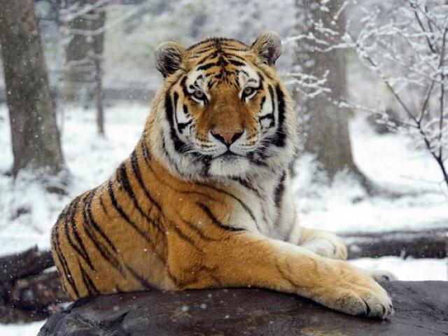Hổ trong vườn thú ở Mỹ nhiễm Covid-19
