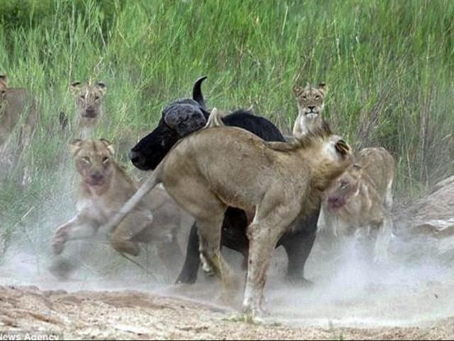 """Cả bầy sư tử nín thở vì bất ngờ săn phải """"trâu điên"""""""