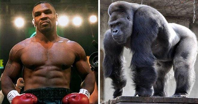 Mike Tyson cực điên: Trả 10.000 đô la để đánh nhau với khỉ đột - 1
