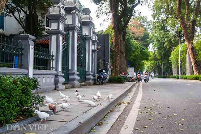 Ngắm đàn chim bồ câu, cảm giác bình yên đến lạ trên đường phố Thủ đô - 1