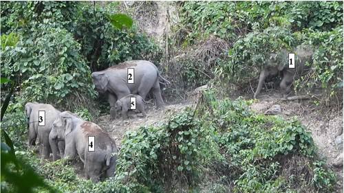 Lần đầu phát hiện đàn voi có cả voi con ở Quảng Nam - 1