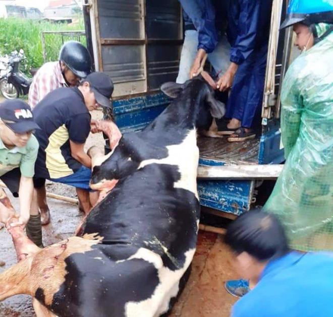 Sét đánh chết gục 10 con bò sữa ngay tại máng ăn - 1