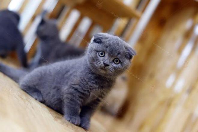 """Dogily Petshop – """"Thiên đường vàng"""" của loài mèo Anh lông ngắn - 1"""