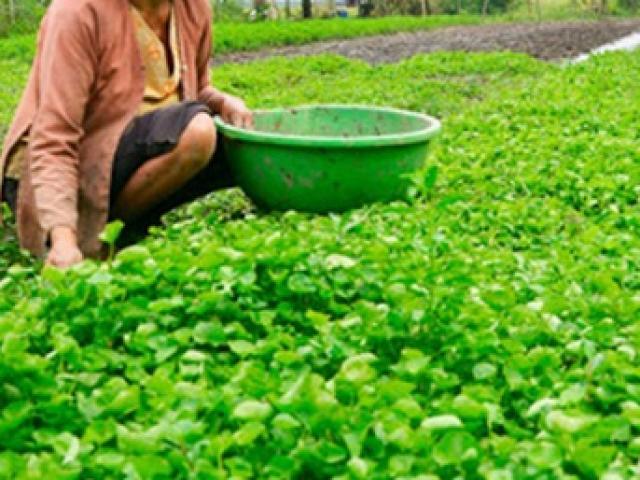 Thứ tưởng cỏ dại ở Việt Nam, càng nắng nóng càng quý như vàng cứ trồng là có lãi