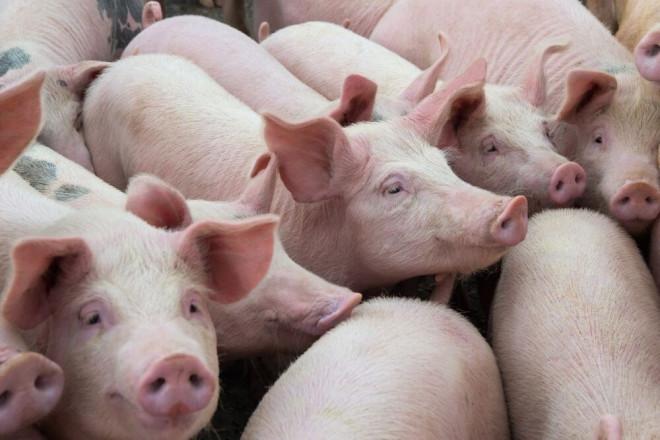 Giá thịt lợn hôm nay 23/5: Lợn hơi lập đỉnh mới chưa từng có trong lịch sử - 1